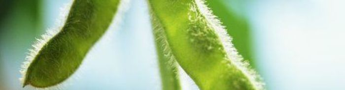 Soybean pod green